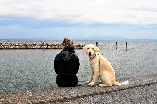 Look, Spacer, Thoroughbred, Golden Retriever, Dog