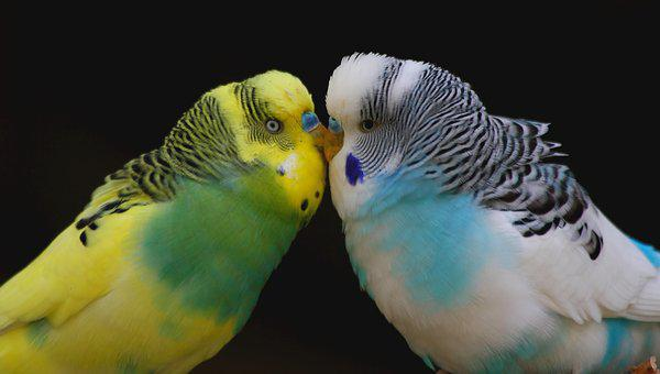 Budgie, Smooch, Love, Together, Togetherness