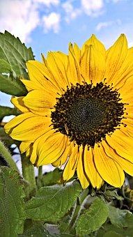 Plant, Sun Flower, Single Bloom, Large, Yellow