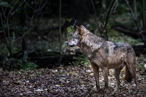 Berlin, Zoo, Isegrim, Wolf