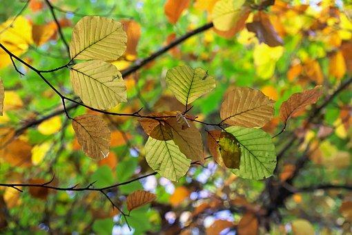 Autumn, Autumn Gold, Foliage, Tree, Watercolor, Nature