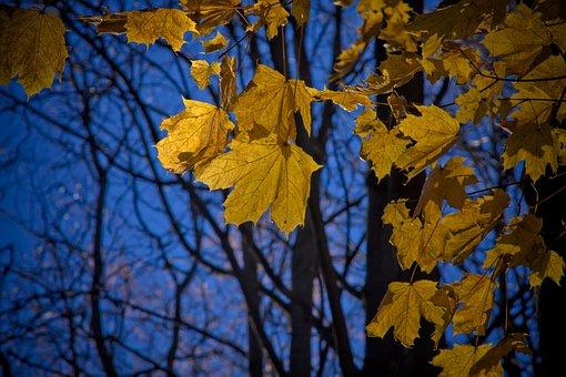Maple, Leaf, Maple Leaves, Fall, Autumn, Nature