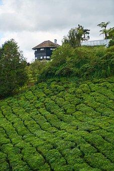 Tea, Field, Landscape, Background, Beautiful, Malaysia