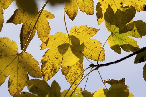 Autumn, Maple, Leaves, Colorful, Yellow, Fall Color