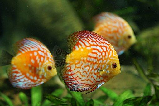 Discus Fish, Aquarium, Freshwater, Colorful, Fish