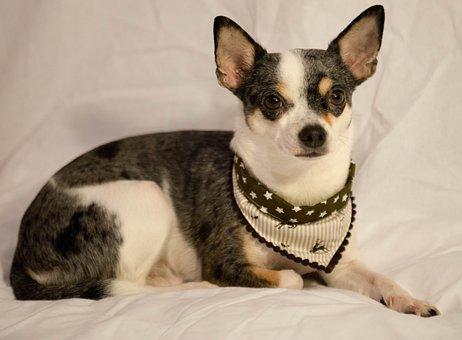 Dog, Small Dog, Pet, Sweet, Jack Russel