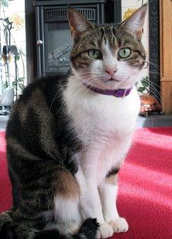 Cat, Pet, Domestic, Tortoiseshell, Moggy, Kitty