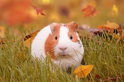 Autumn, Guinea Pig, Pig, Pet, Fall, Leaves, Guinea