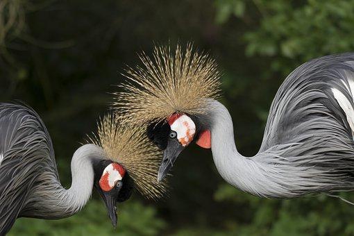 Crane, Set, Couple, Bird, Torque, Fauna, Nature, Love