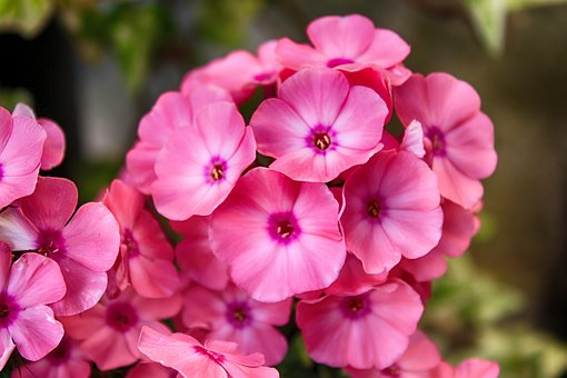 Flower, Geranium, Blossom, Bloom, Pink Flower