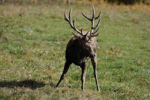 Hirsch, Antler, Red Deer, Antler Carrier, Forest, Wild