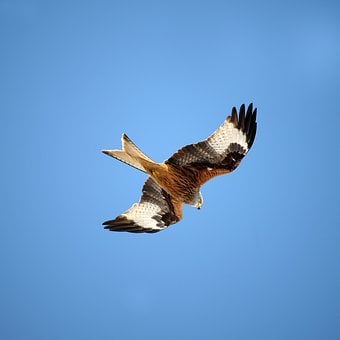 Red Kite, Fork Consecration, King's Consecration, Bird