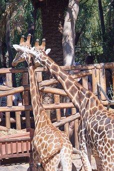 Giraffe, Giraffes, Love, Monogamous, Pair, Head, Large