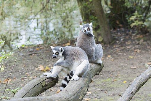 Raccoon, Raccoons, Zoo, Mammals, Mammal, Wild Animals