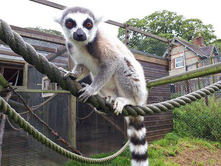 Ring-tailed Lemur, Mammal, Zoo