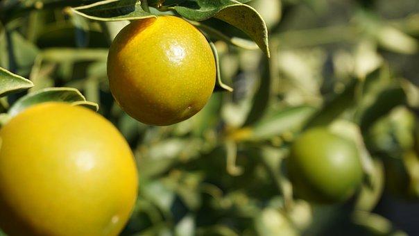 Mandarin, Ziermandarine, Plant, Tree