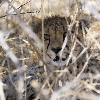 Cheetah, Safari, Namibia, Predator, Cat, Animal, Nature