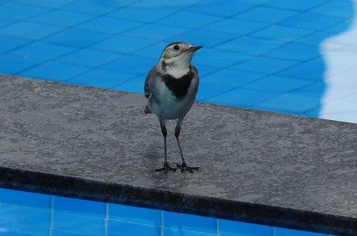 Bird, Wagtail, White Wagtail, Motacilla Alba, Passerine