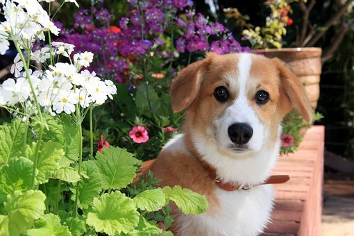 Dog, Puppy, Flowers, Corgi