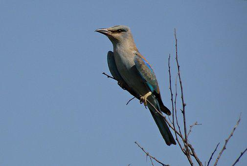 Roller, Bird, European Roller, Coracias Garrulus