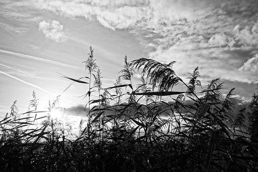 Reeds, Plumes, Vegetation, Plant, Silhouette, Sunset