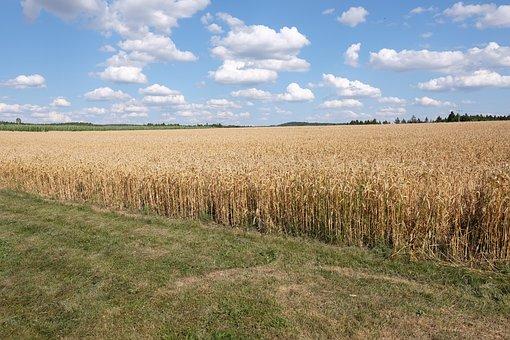 Sky, Wheat Field, Landscape, Scenic, Wheat, Cereals