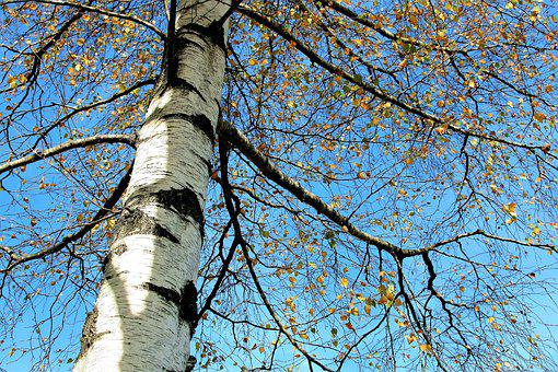 Tree, Sky, Birch, Autumn Gold, Yellow Leaves, Spacer