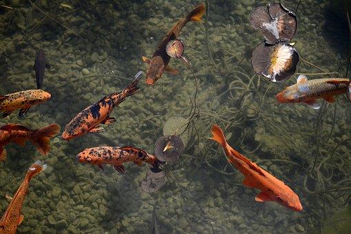 Fish, Koi, Creature, Animal World, Nature, Swim, Water
