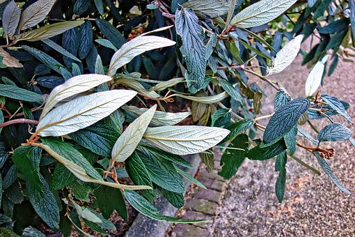 Leaves, Shrub, Plant, Vein, Pattern, Park