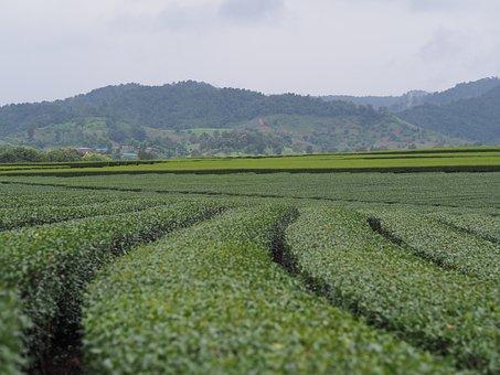 Tea Plantations, Rai, View, Boon Rawd Farm, The North
