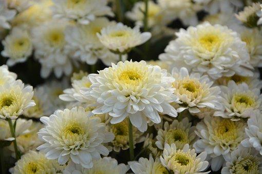 White Flowers, White Chrysanthemums, Flowers Fall