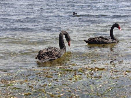 Black, Swan, Swans, Bird, Animal, Nature, Wild