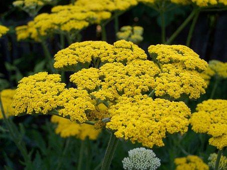 Yarrow, Yellow Flower, Flower Garden
