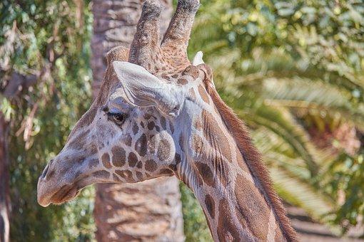 Giraffe, Head, Large, Zoo, Animal, Africa, Spotted