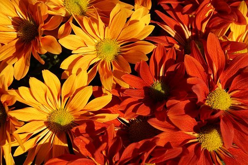 Autumn, Asters, Colorful, Autumn-flowers, Fall Asters