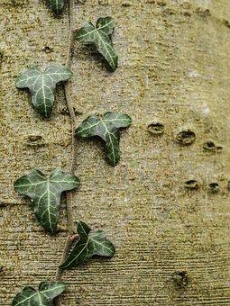 Alder, Ivy, Tribe, Tree, Nature, Bark, Leaves, Autumn