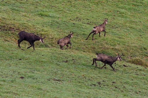 Chamois, Rut, Rutting Season, Boss, Chef, Leittier