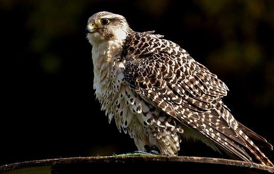 Falcon, Wing, Bird Of Prey, Animal, Falconry, Bill