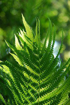Fern, Green, Nature, Foliage, Plant, Forest, Flora