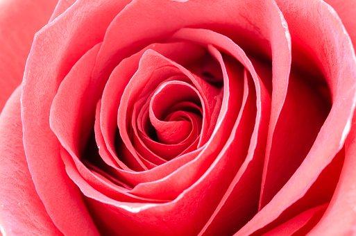 Flower, Rose, Macro, Nature, Detail, Gift, Blossom