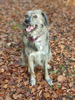 Dog, Forest, Leaves, Australia Shepherd
