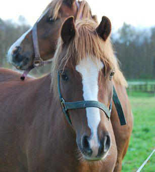 Animals, Horses, Pferdeportrait, Friendship, Two, Brown