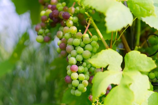 Grapes, Green Grapes, Green, Healthy, Fruit