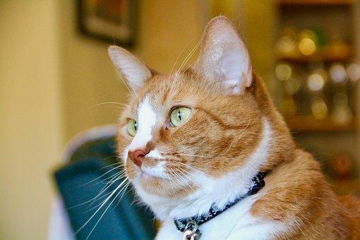 Cat, Ginger, Pet, Animal, Cute, Domestic, Mammal, Fur