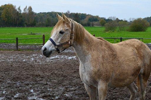 Horse, Arabs, Thoroughbred Arabian, Pferdeportrait