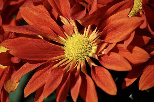 Aster, Autumn, Autumn-flowers, Fall Asters, Nature, Red