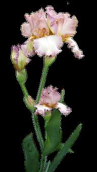 Iris, Plant, Flower, Buds