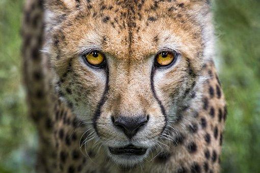 Cheetah, Cat, Big Cat, Predator, Wild Animal, Nature