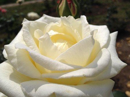 Flower, Rosa, White, Petals, Delicacy, Plant, Beauty