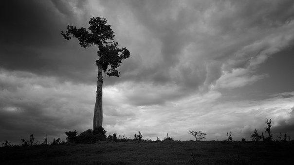 Tree, Tall, Biggest, Tallest, Black And White, Mighty
